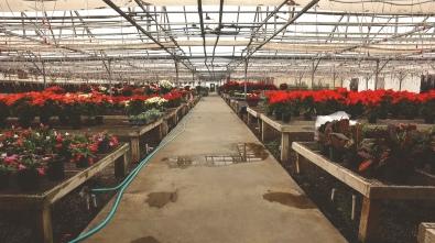 precure nursery garden center poinsettias